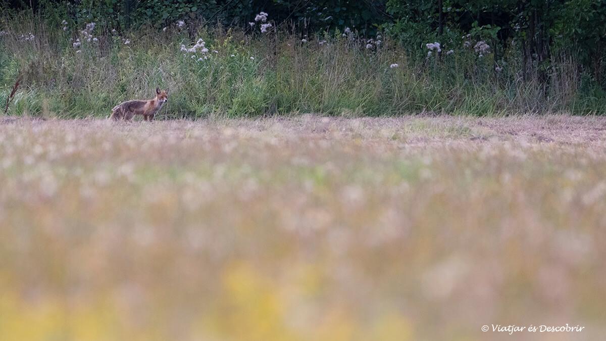 zorro en un campo de bialowieza