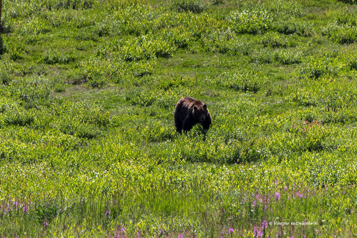 osso grizzly que ver en banff
