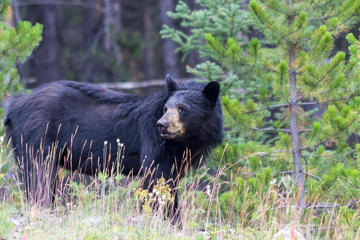 oso en el parque nacional banff