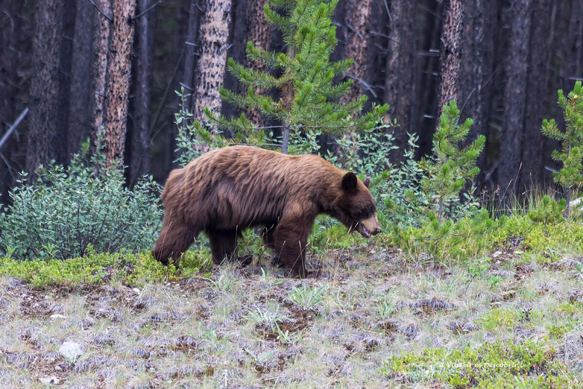 osos en banff