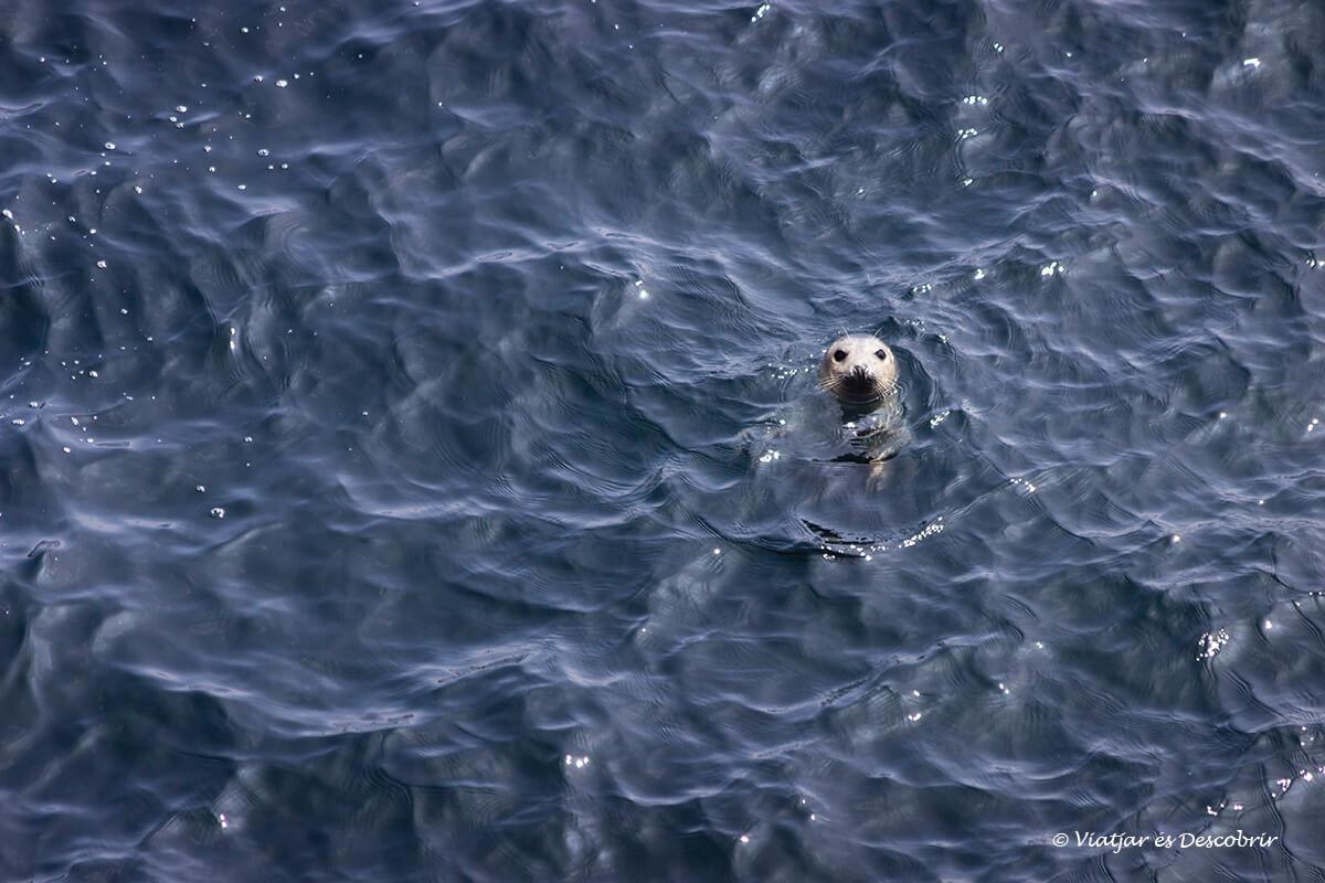 foca gris en irlanda