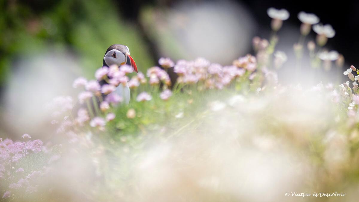 frailecillo en irlanda rodeado de flores