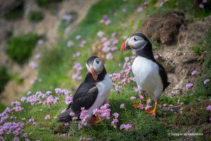 Dónde ver frailecillos en Irlanda: Las Islas Saltee