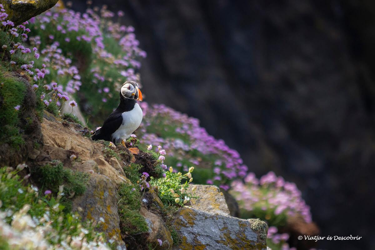 frailecillo en irlanda fotografiado en las islas atlanticas