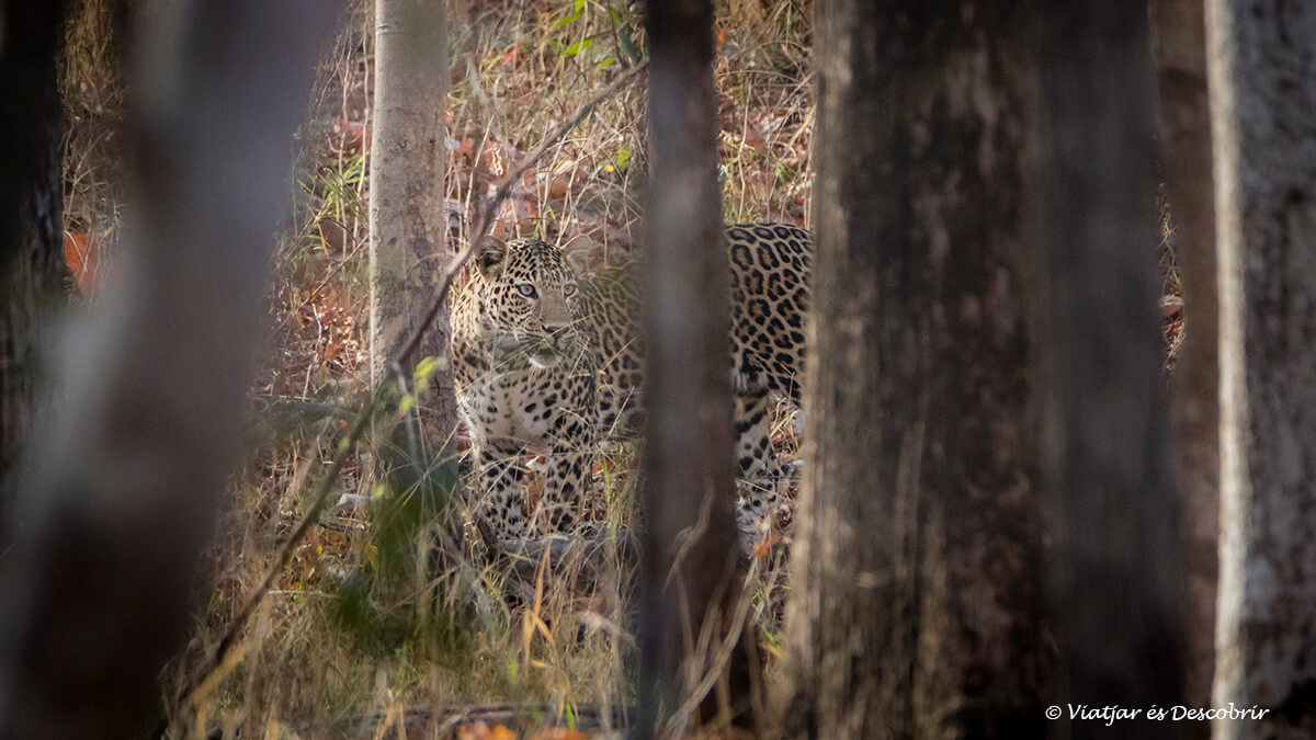 leopardo de la India visto a Pench