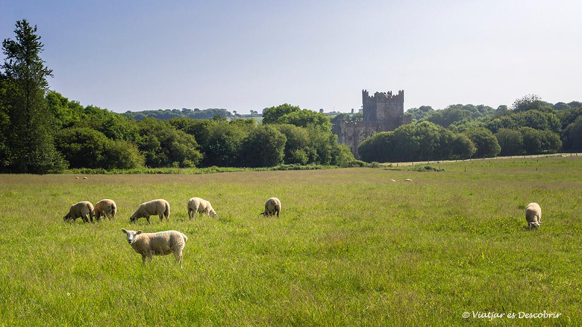 ovejas y castillos en la peninsula de hook