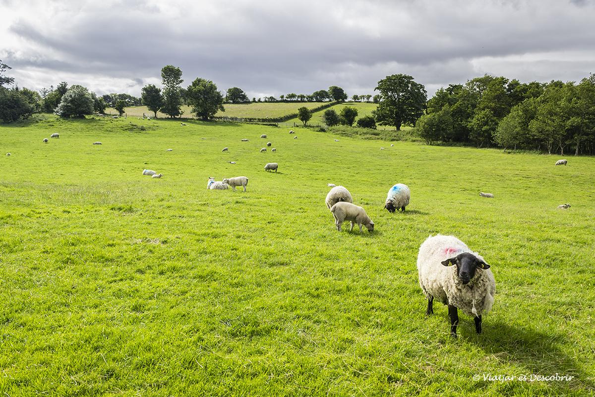 ovejas rodeadas dentro del Castillo de Doe