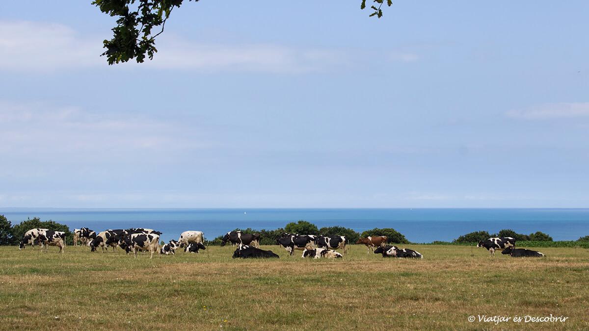 vacas y mar en la bretaña francesa