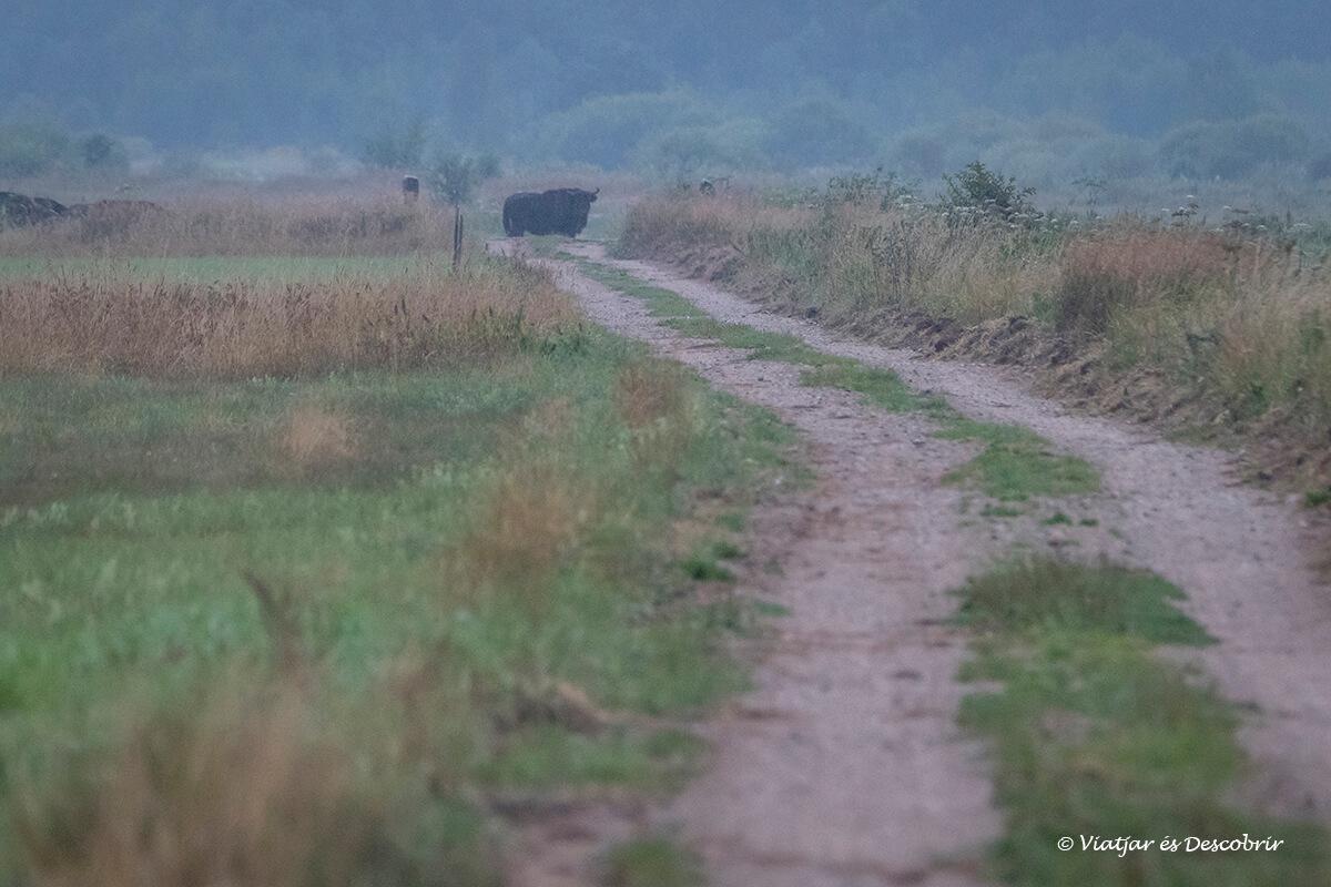 bisonte europeo en polonia en libertad
