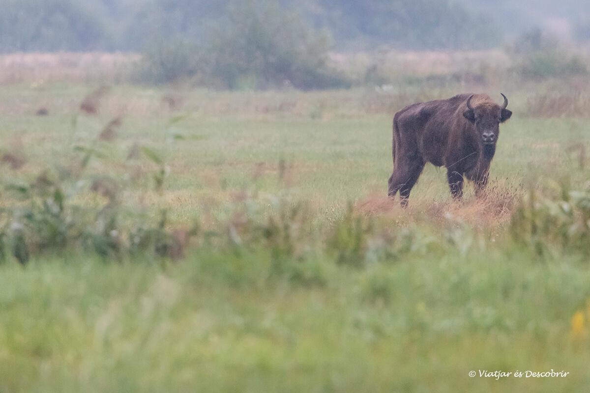 mejores lugares donde ver bisontes europeos en Bialowieza