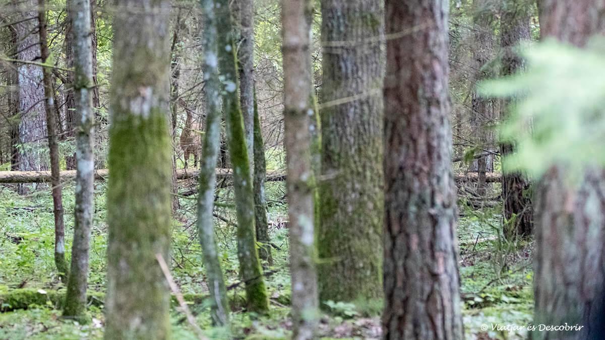 ciervo camuflado entre los árboles en Bialowieza