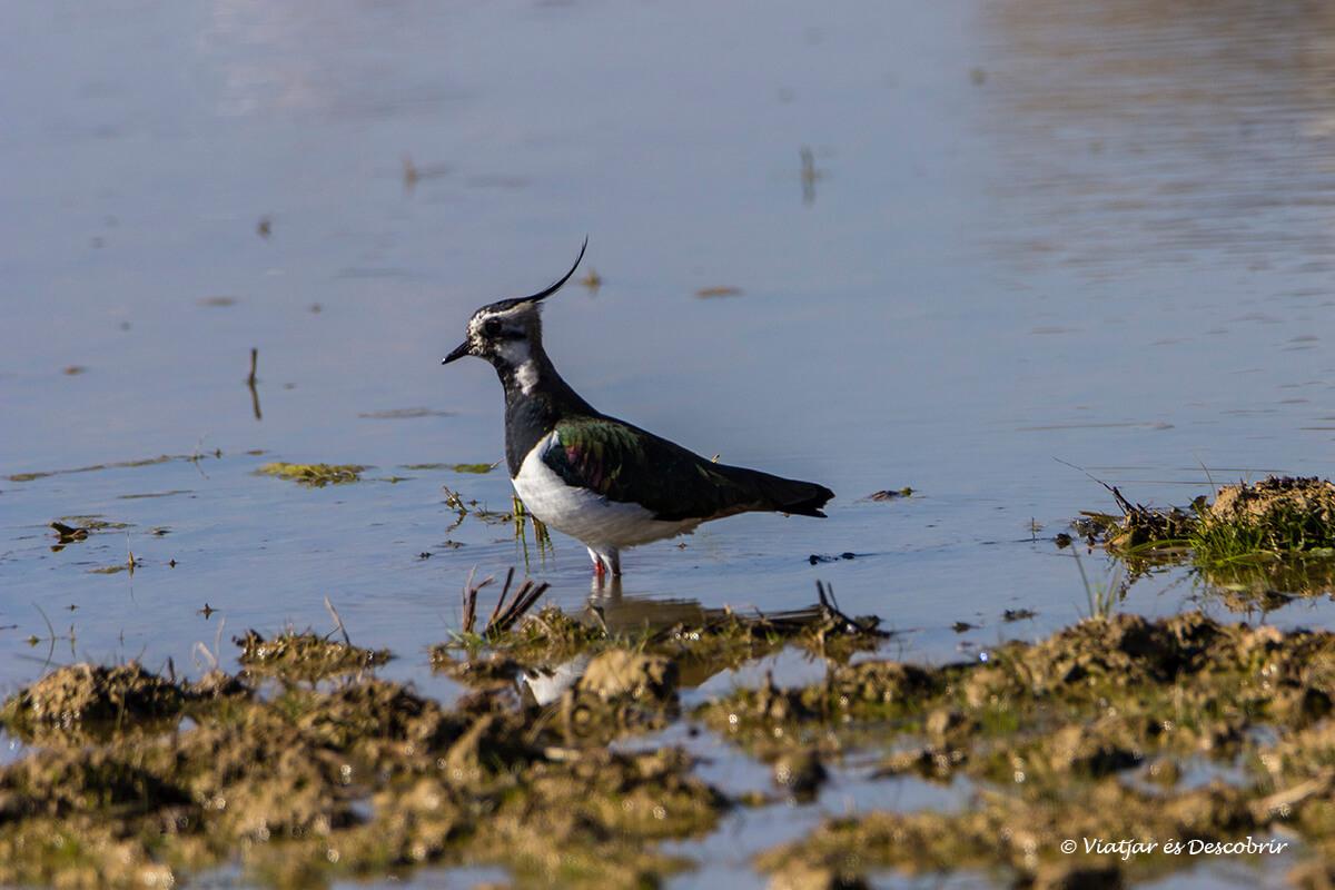 pájaro en los aiguamolls del Empordà
