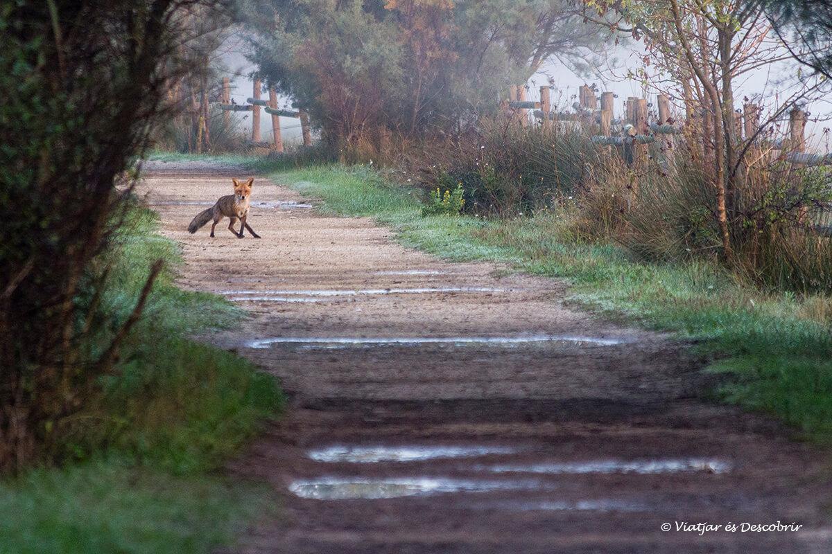 zorro de madrugada en un camino