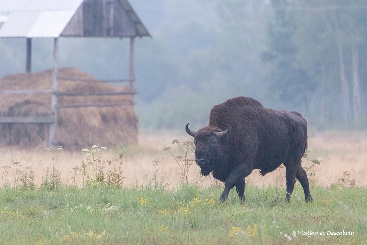 bisontes europeos en Bialowieza