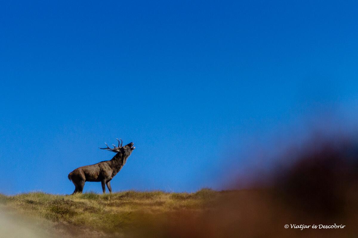 berrea del ciervo en Cataluña con la agencia pirosexplorer