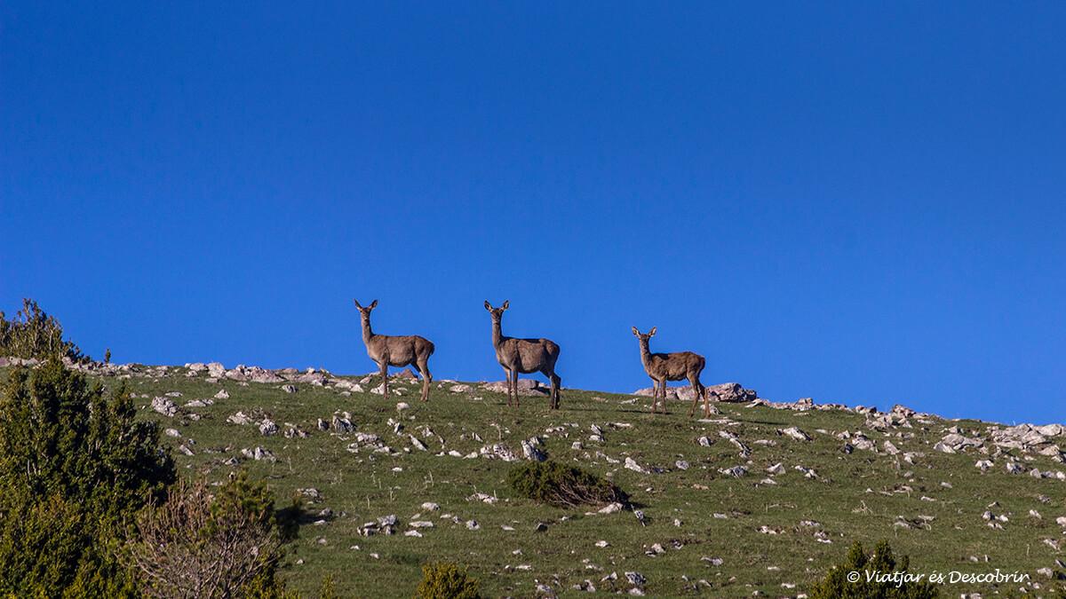 grupo de hembras durante la berrea del ciervo en el Pirineo