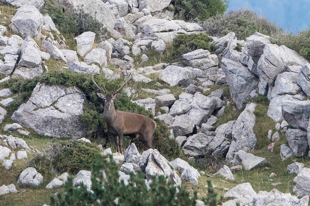 macho de ciervo en el Valle de Arana