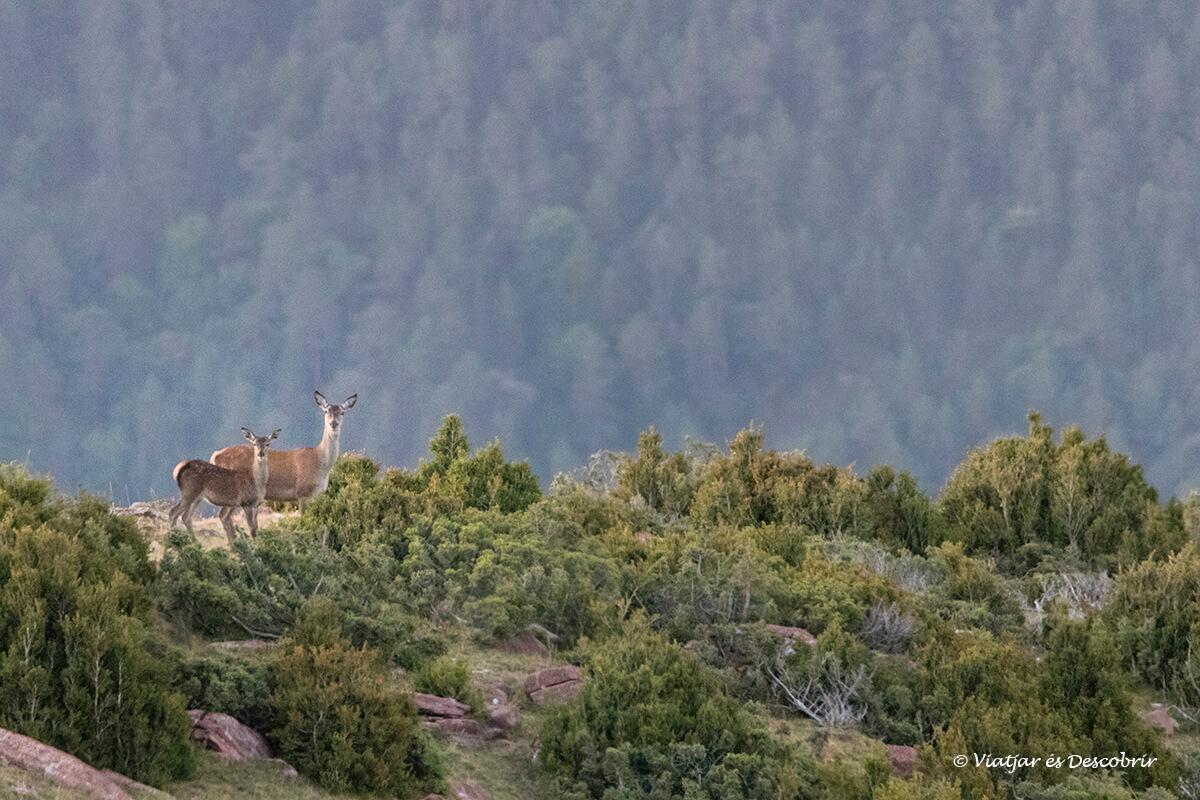 ciervo con su cría durante el otoño