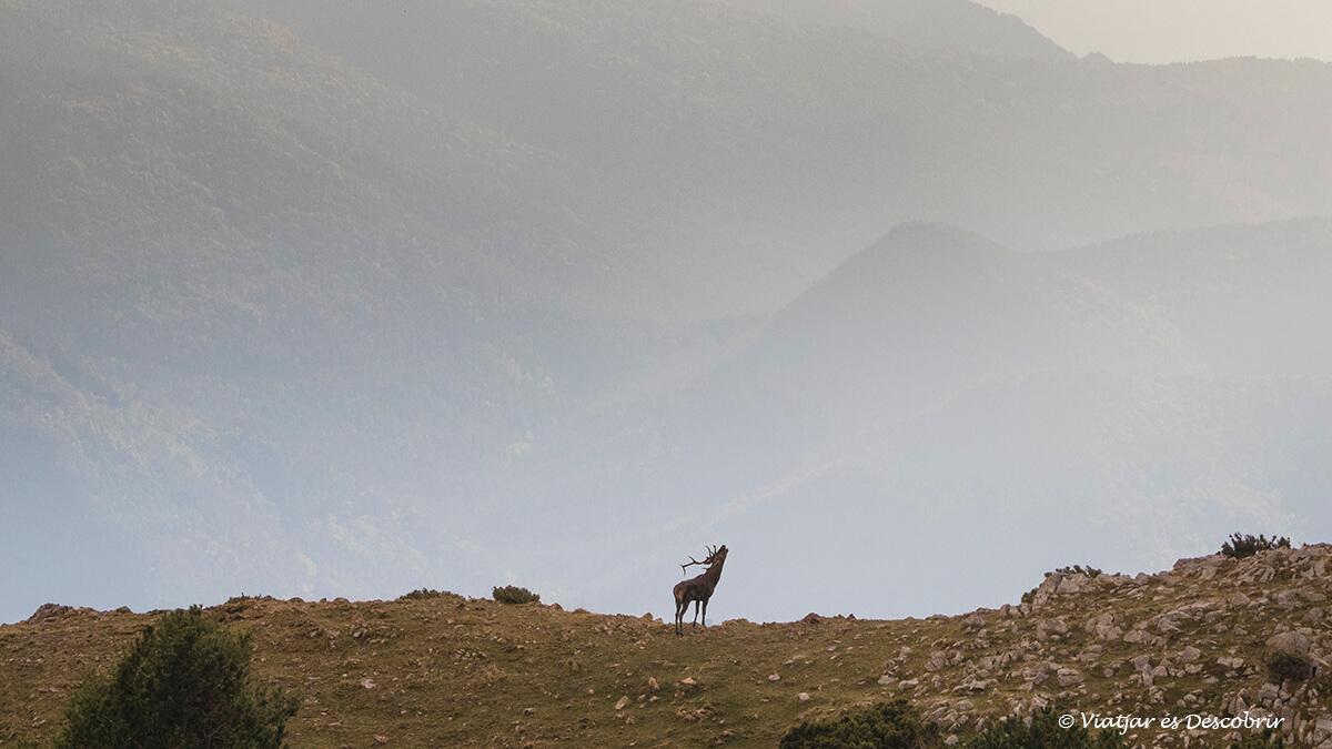 berrea del ciervo rodeado de montañas del pirineo
