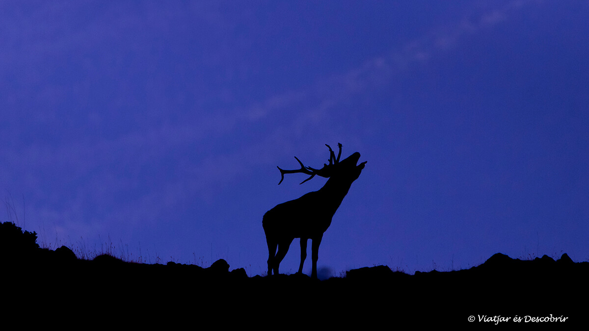 ciervo durante la madrugada bramando