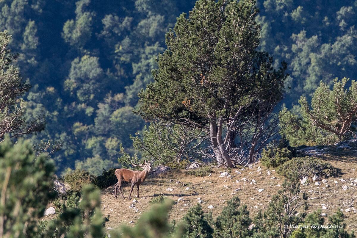 berrea del ciervo en Cataluña en el alt pirineu