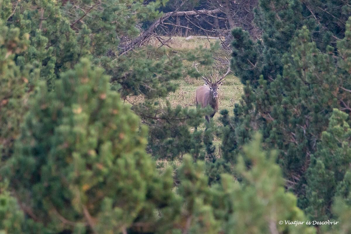 macho de ciervo en los bosques de Cataluña durante la berrea
