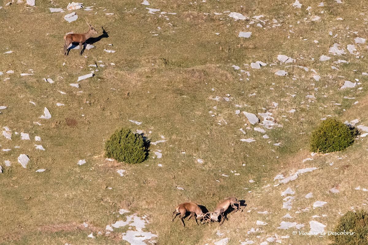 berrea del ciervo en Cataluña lucha entre machos