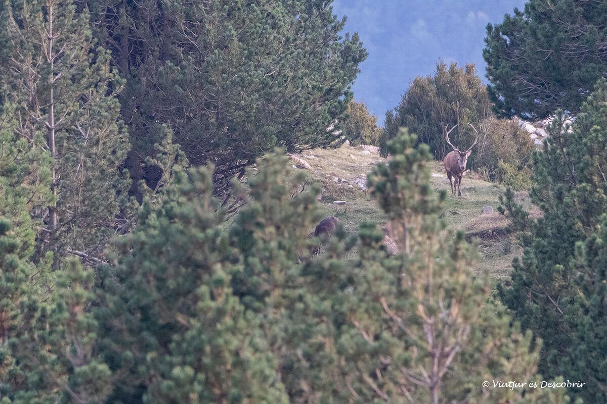 ciervo en los bosques del Berguedà en Cataluña