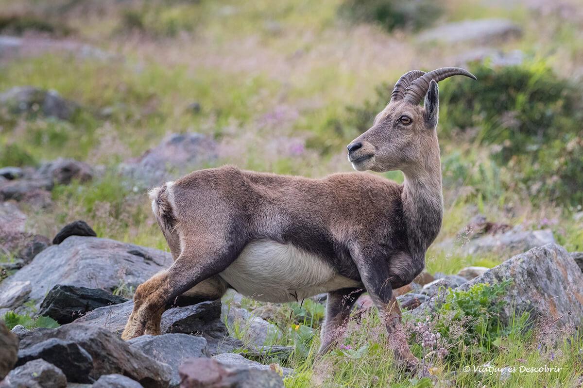 cabra salvaje en los alpes franceses