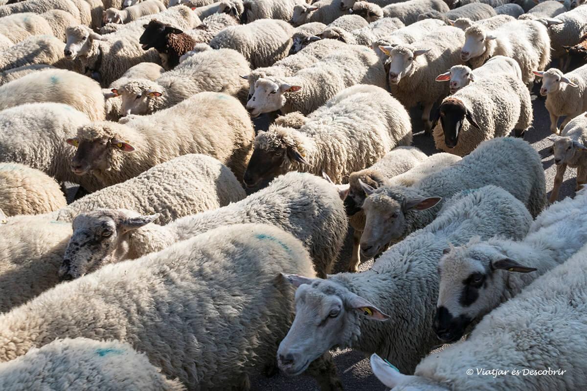 primer dia del viaje a chamonix grupo de ovejas en las houches