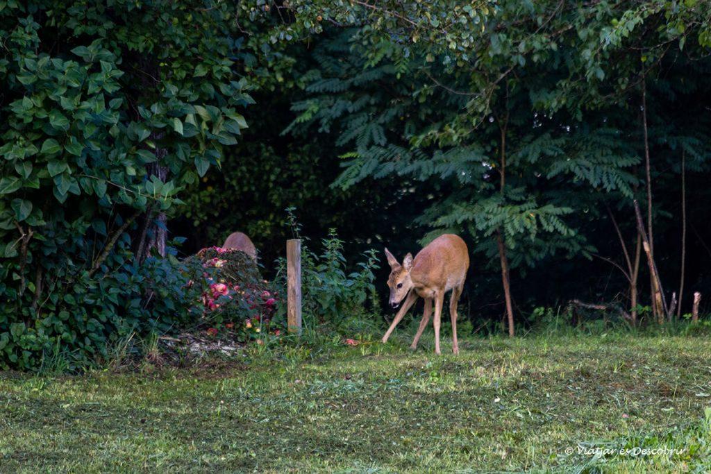 corzo en los bosques salvajes de Eslovenia