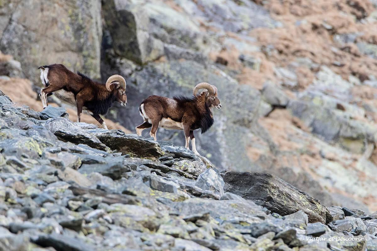 muflones cerca de un refugio del pirineo oriental