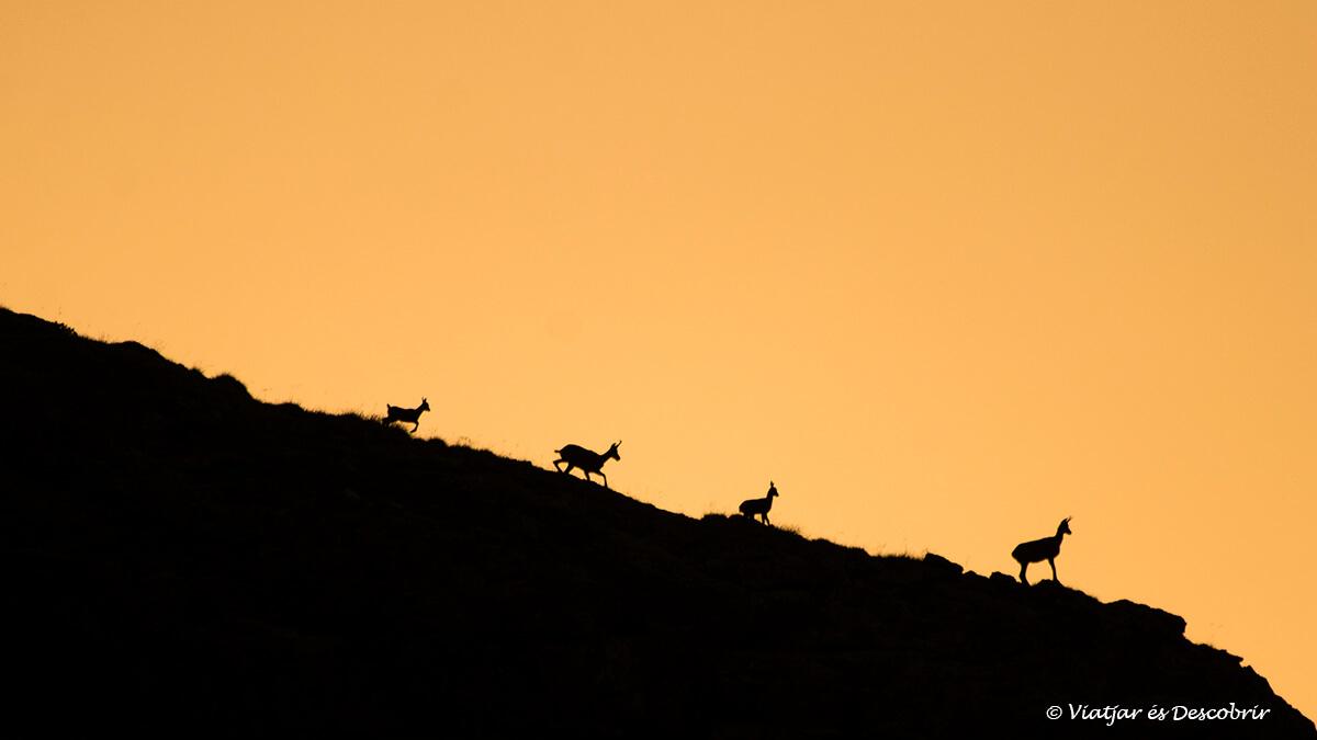 grupo rebecos durante la salida del sol en el posets maladeta