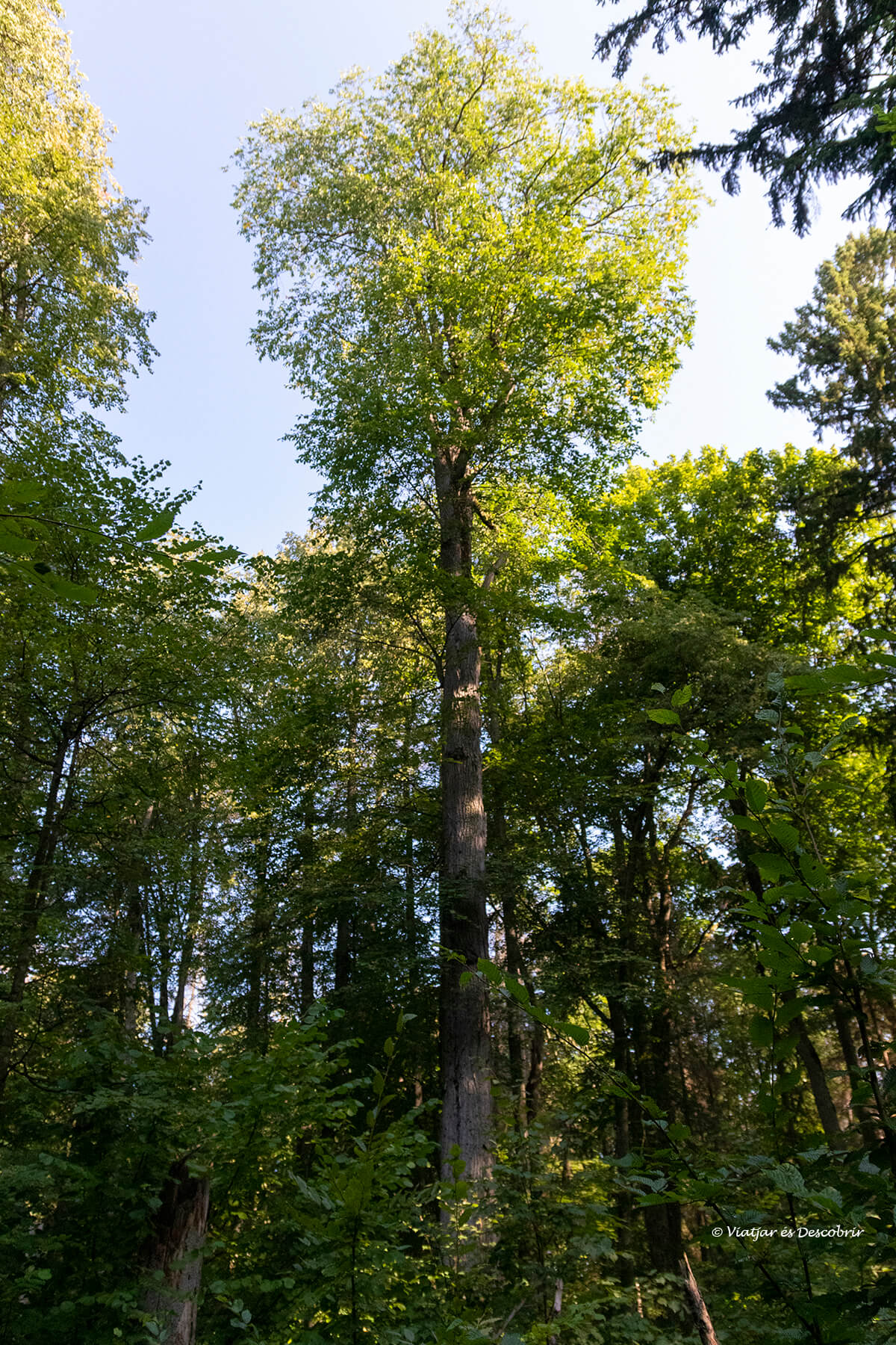 uno de los árboles más altos del bosque primitivo