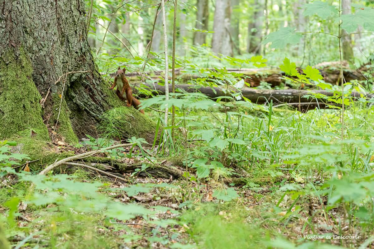 ardilla entre la vegetación en el bosque de Bialowieza