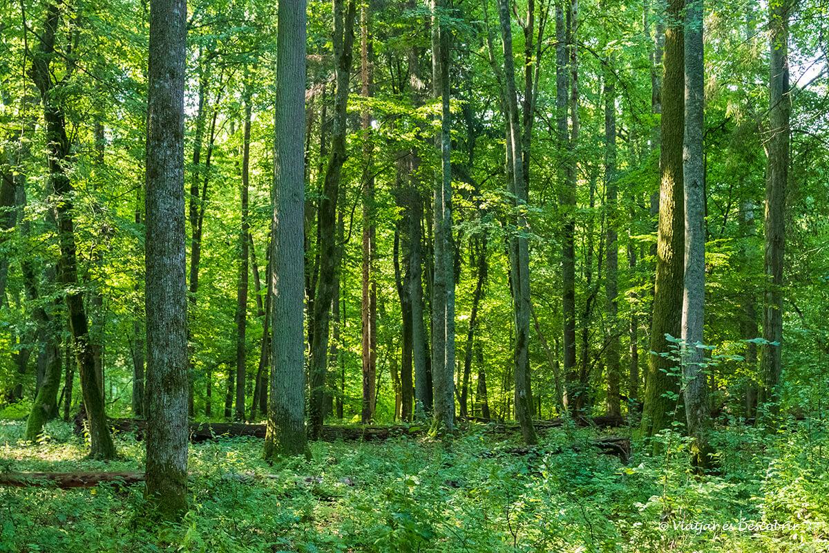 El bosque primitivo de Bialowieza: guía de la reserva estricta