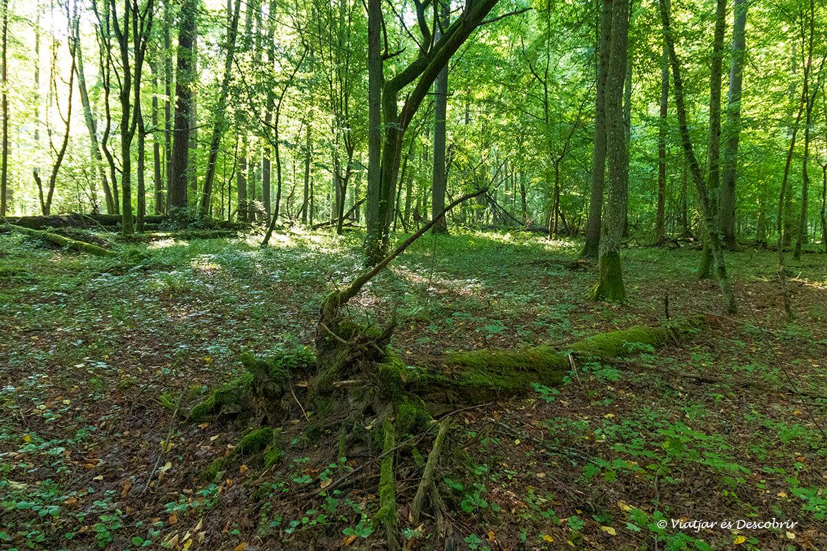 sotobosque muy verde en el bosque del parque nacional de Bialowieza