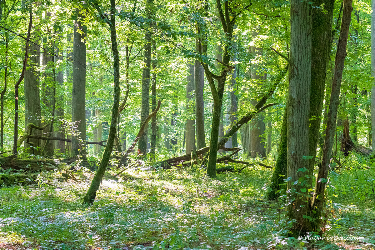 parte joven de la zona restringida y reserva estricta de Bialowieza