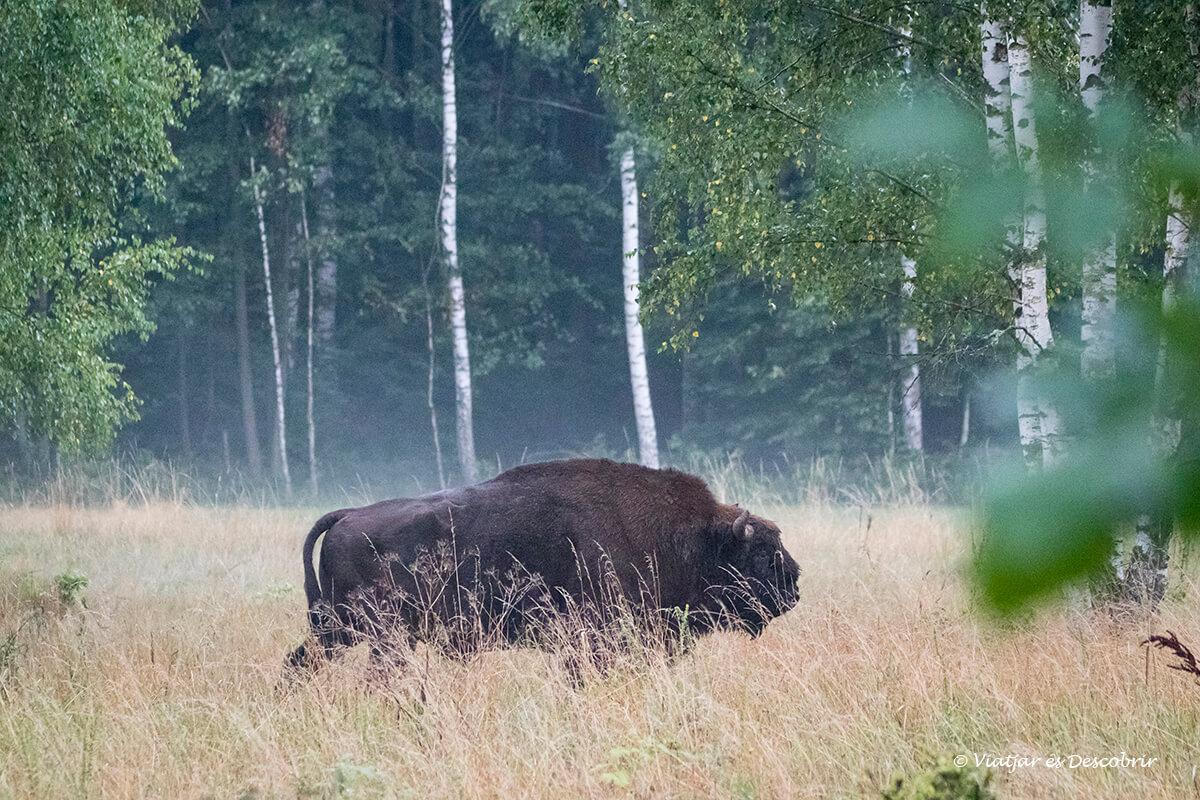 bisonte europeo en el parque nacional de Bialowieza