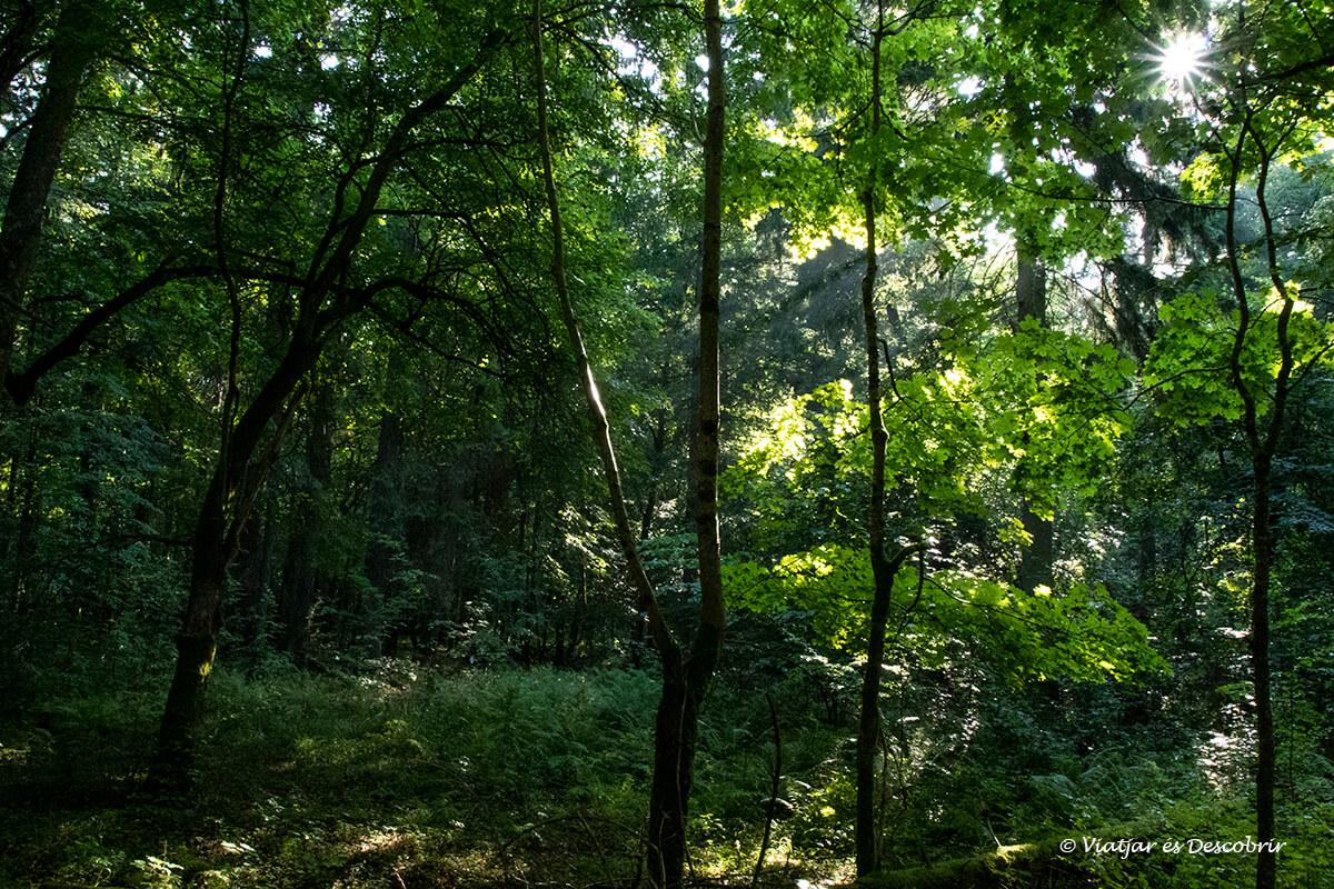 rayos de sol entre los árboles del bosque restringido de Bialowieza