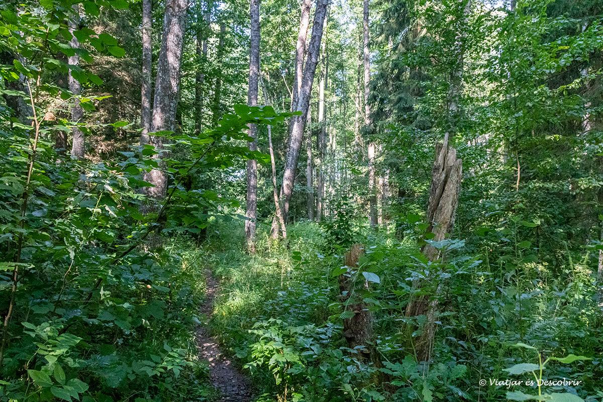 camino salvaje dentro la excursión larga del bosque primitivo de Bialowieza