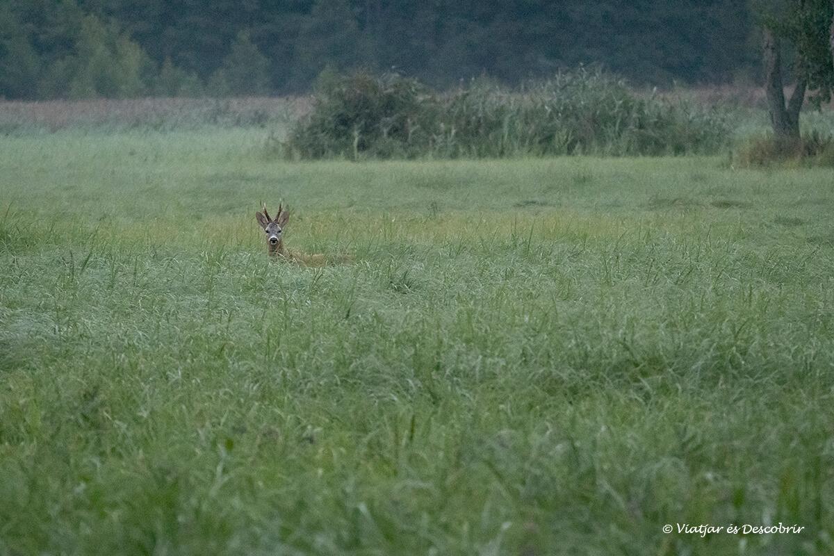 corzo de madrugada entre la vegetación en polonia