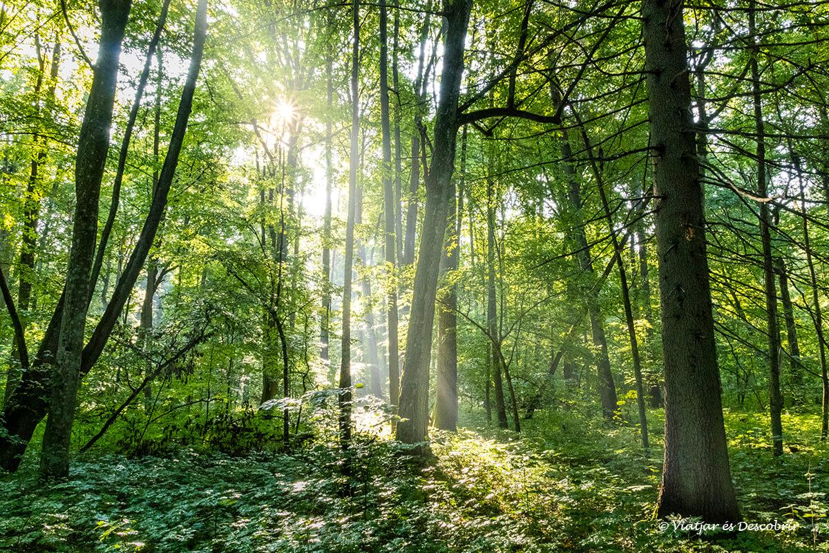 árboles y luz dentro del bosque primitivo de Bialowieza en polonia