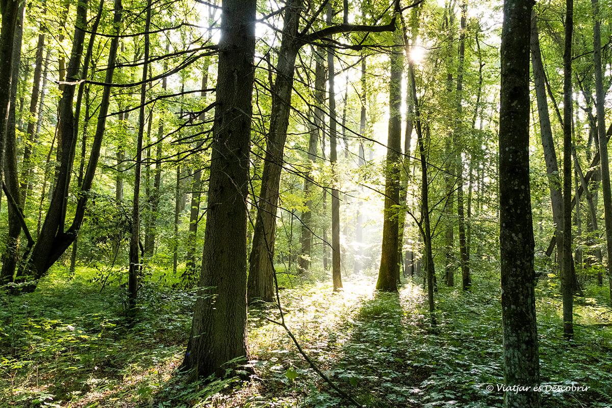 bosque primitivo de Bialowieza con las primeras luces del día