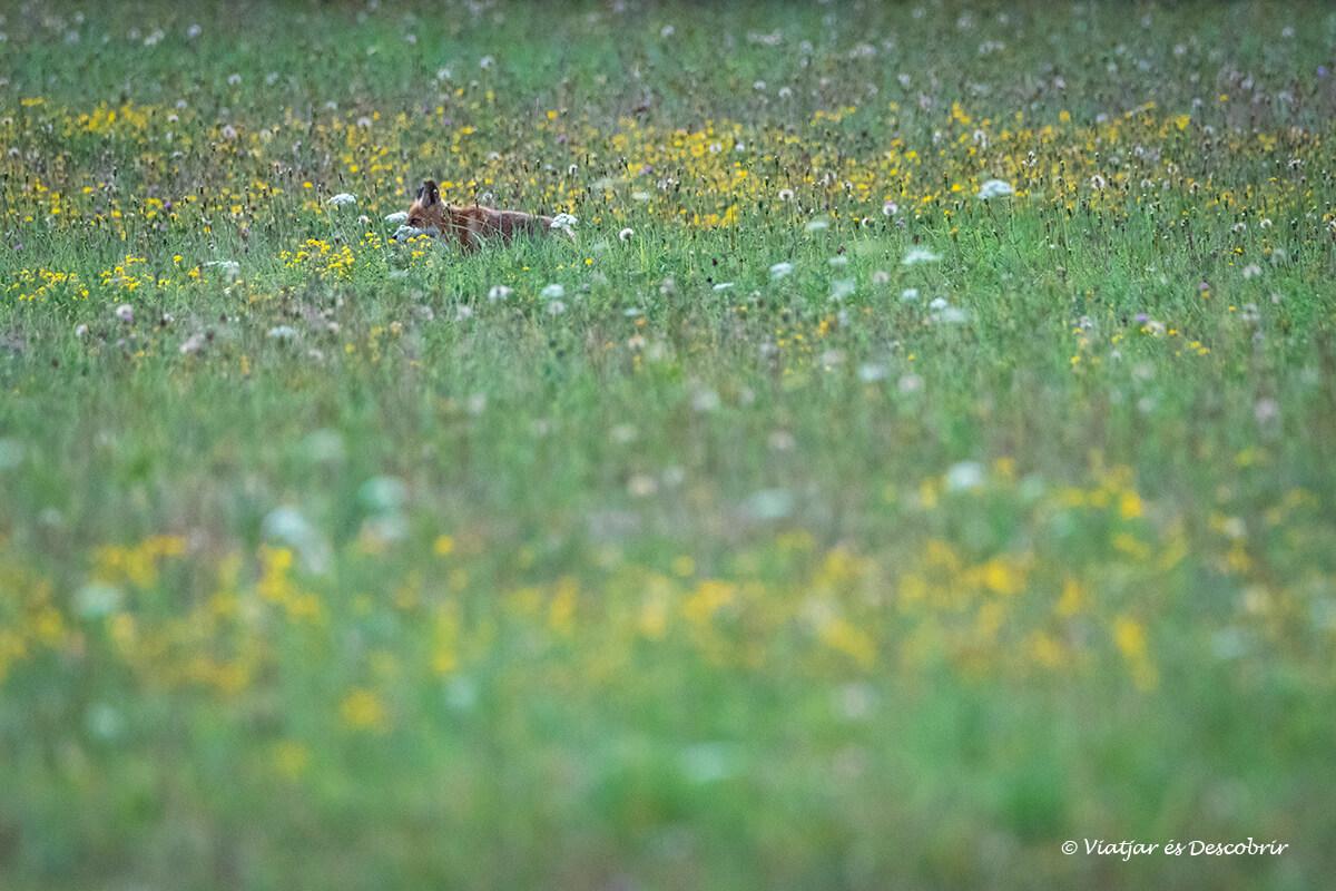 zorro camuflada entre las flores