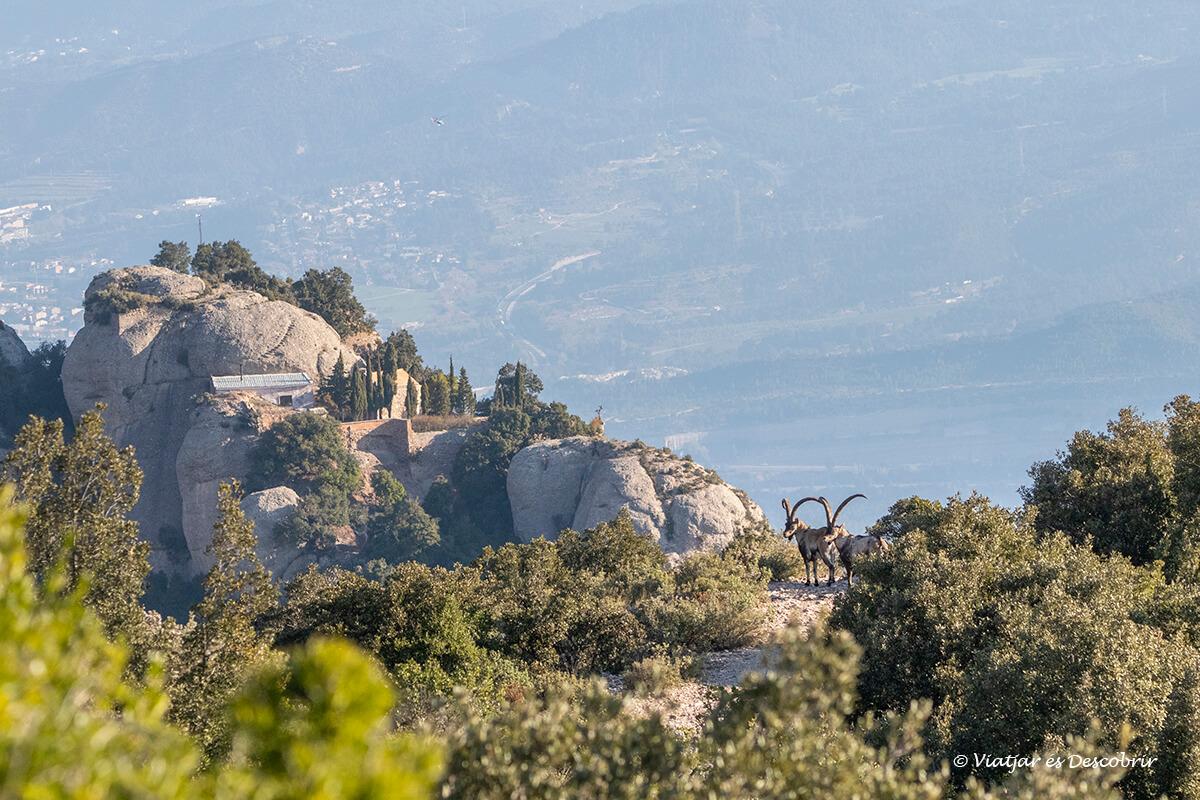 cabras salvajes en la lejanía en Cataluña